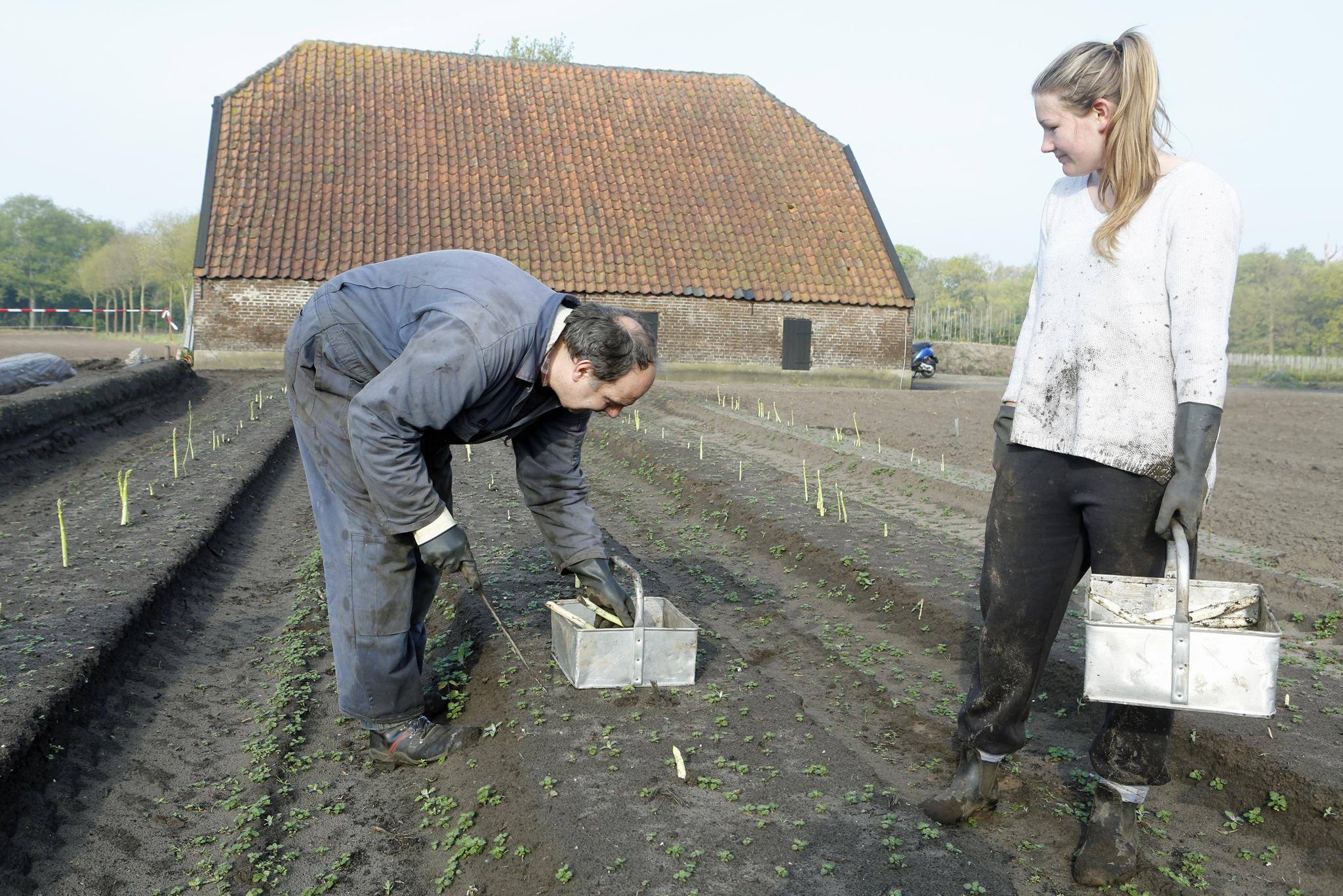 Aspergeteler Buijs oogst de eerste asperges van het seizoen